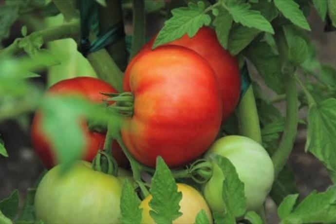 tomatoes_-2859145250558294056