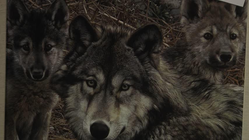 Amendment to de-list grey wolves_18754594-159532