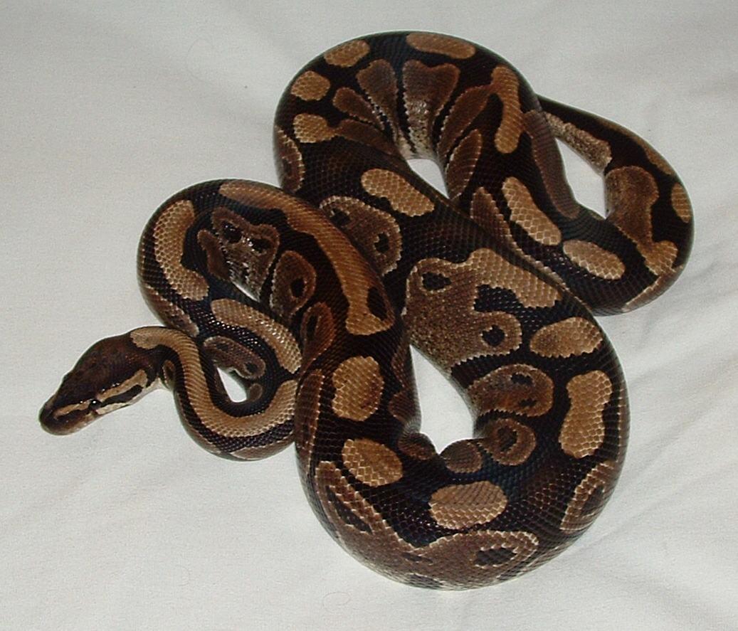 ball python snake_1467054699017.jpg