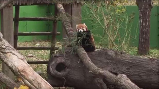 red panda_1485355544832.jpg
