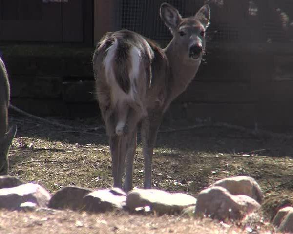 Waupaca looks to address growing deer herd in the city