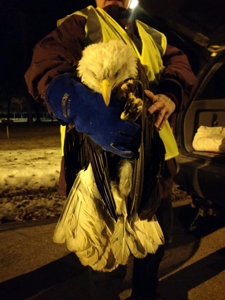 bald eagle Kaukauna_1487172508572.jpg