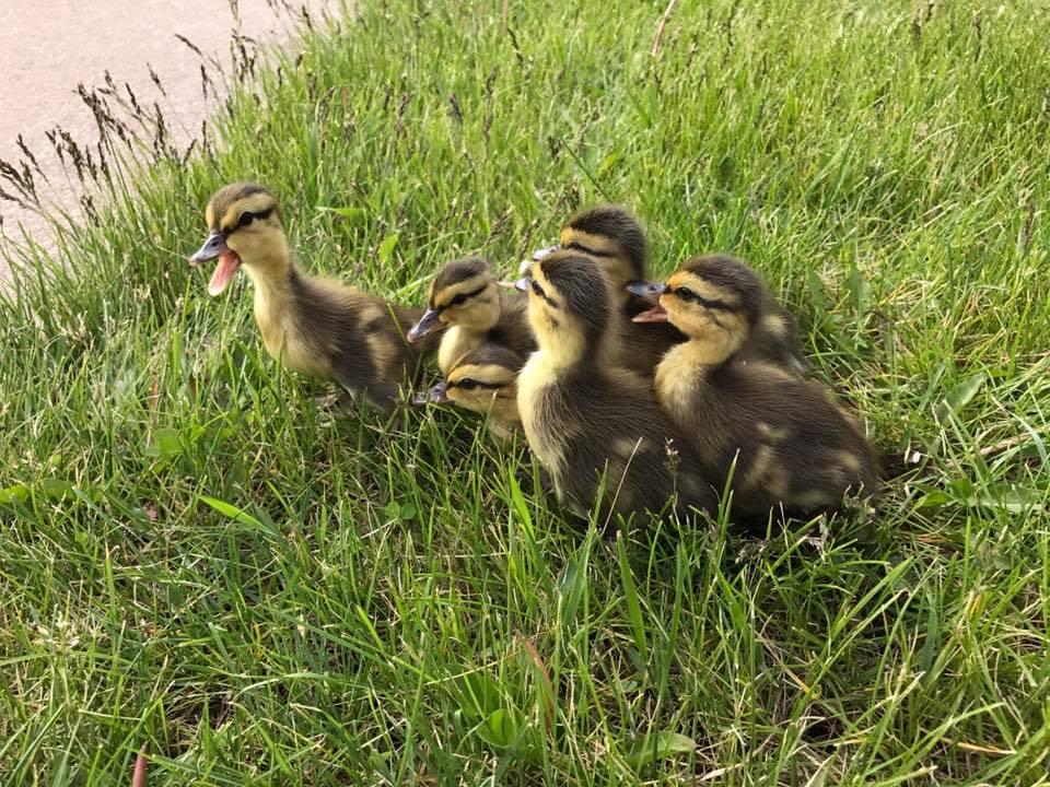 ducks 3_1495741746674.jpg