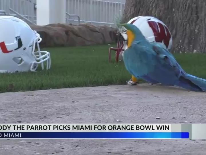 Buddy the Parrot's Orange Bowl pick