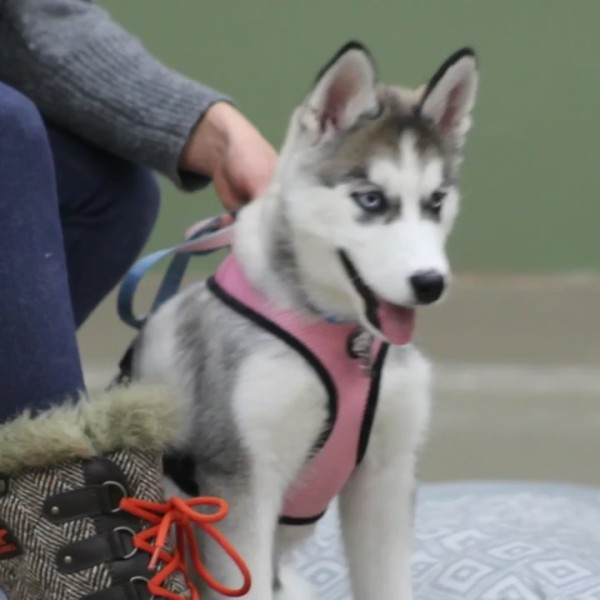 Your Local Experts: Golrusk Puppy and Dog Training Classes