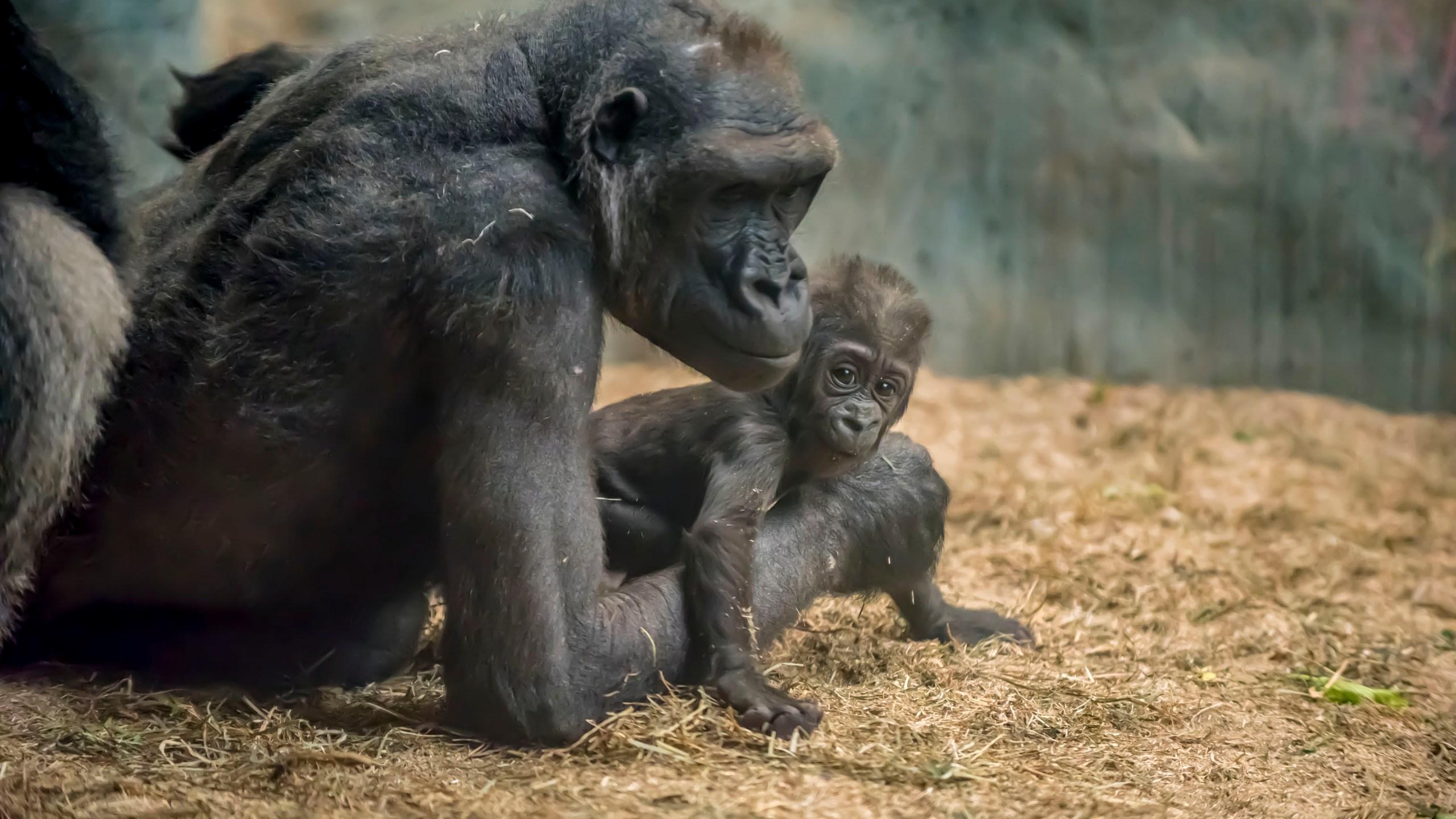 Gorilla Zahra 02-2018-1150 E_1525128136393.jpg.jpg