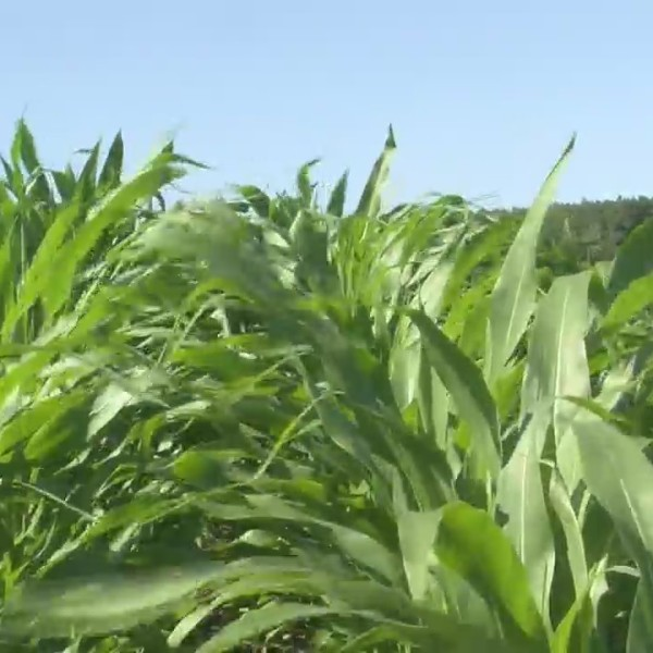 Midwest Farm Weekly Crop Update: July 21, 2018