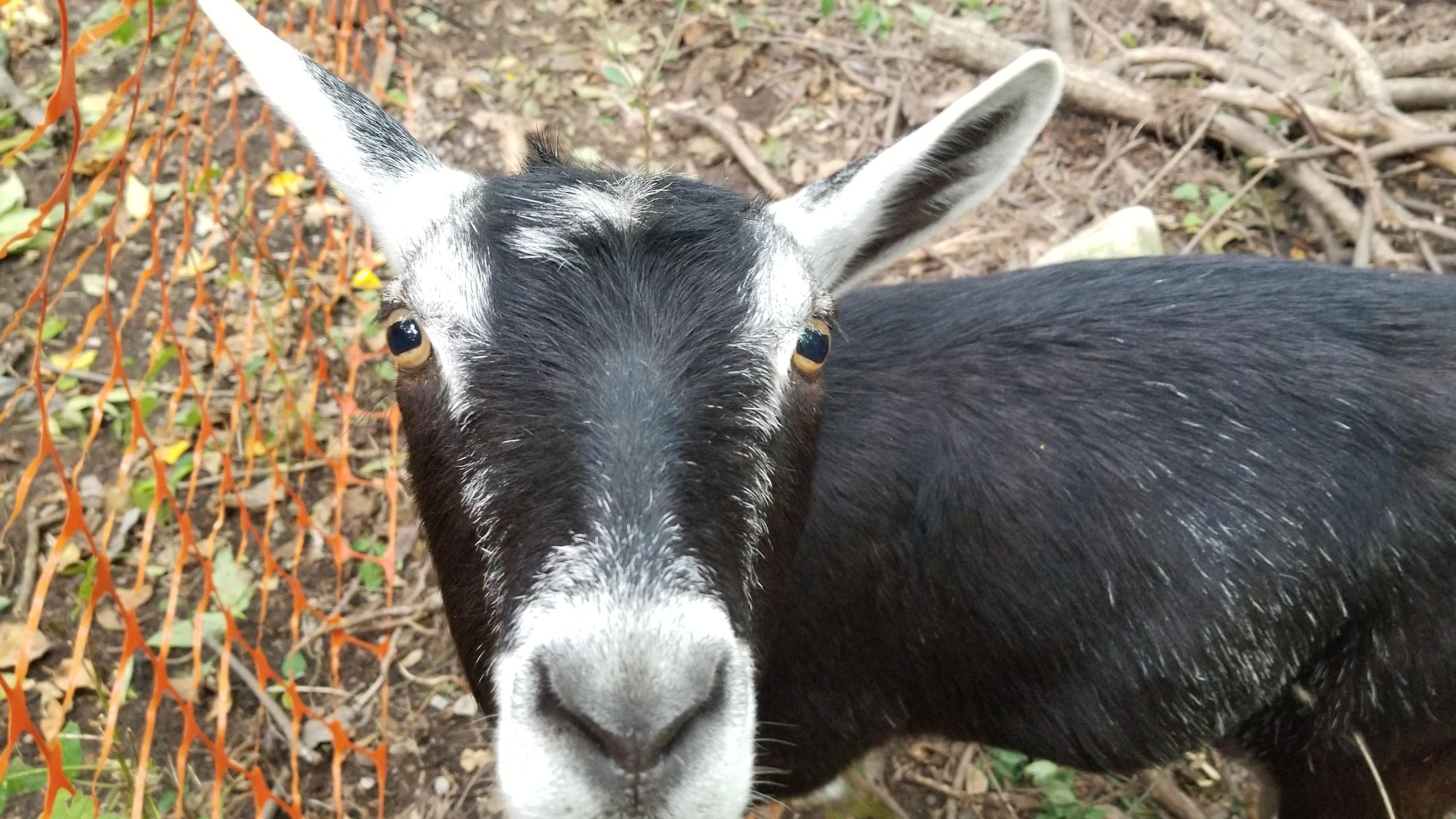 Goats_1537916189915.jpg