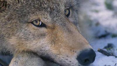Gray-Wolf-jpg_20160326035808-159532