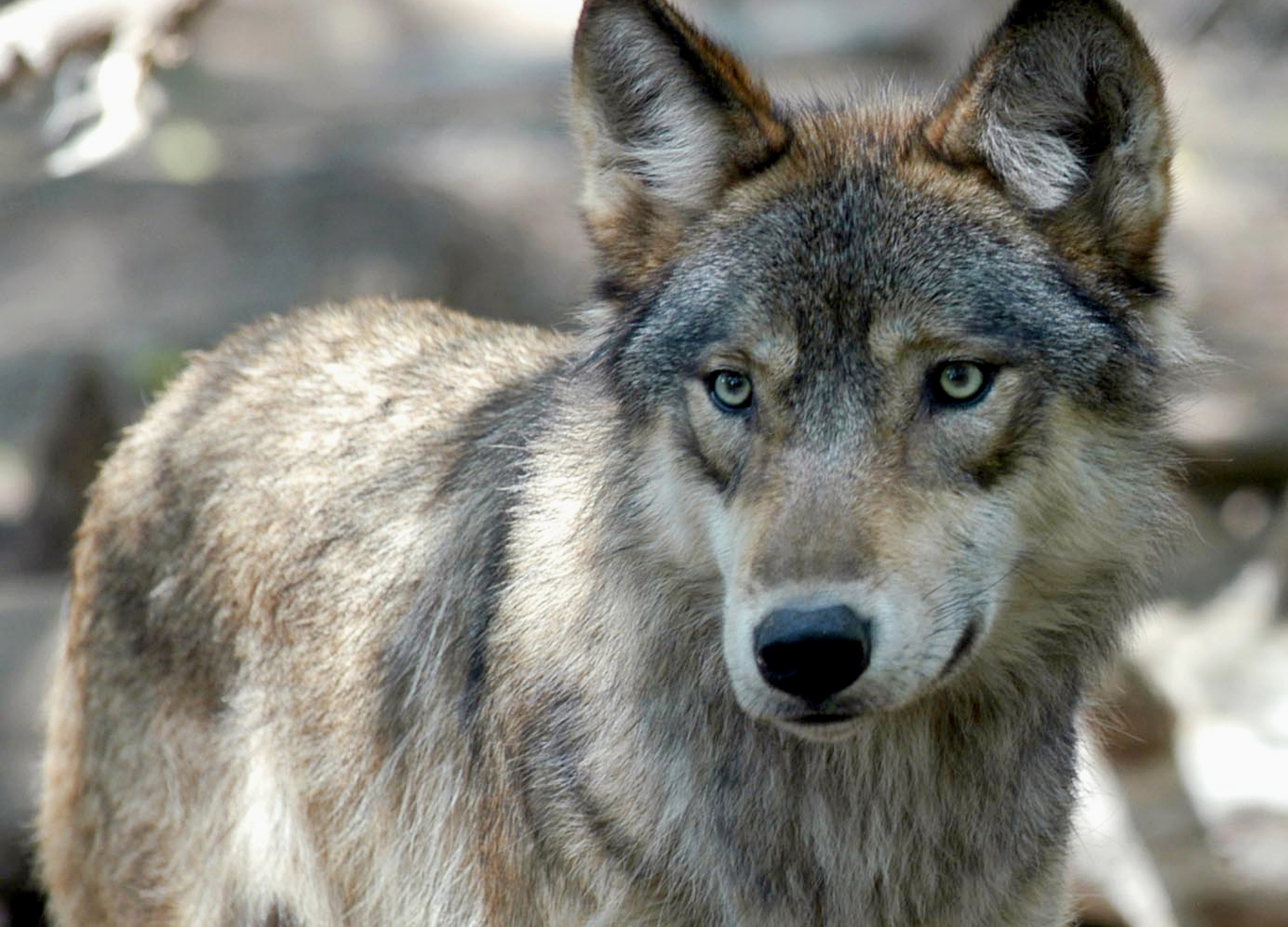 Wyoming Wolves_1556662321636