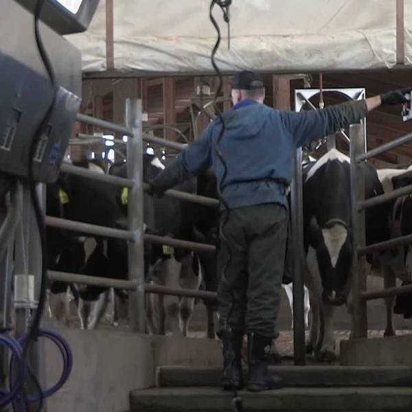 American Dairy Farmers Continue to Struggle
