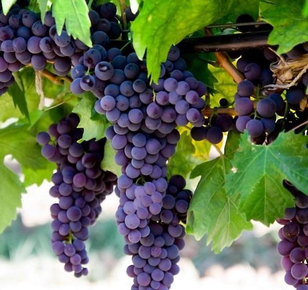Dirty dozen foods - Grapes_2575683237891045-159532