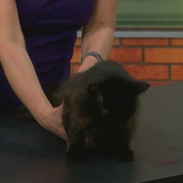 Pet Saver: Chloe - Sweet, senior cat