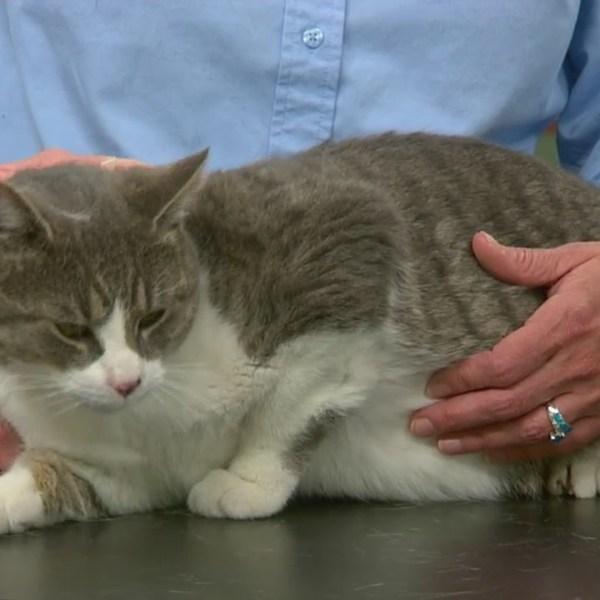 Pet Saver: Pepper Jack the Cat