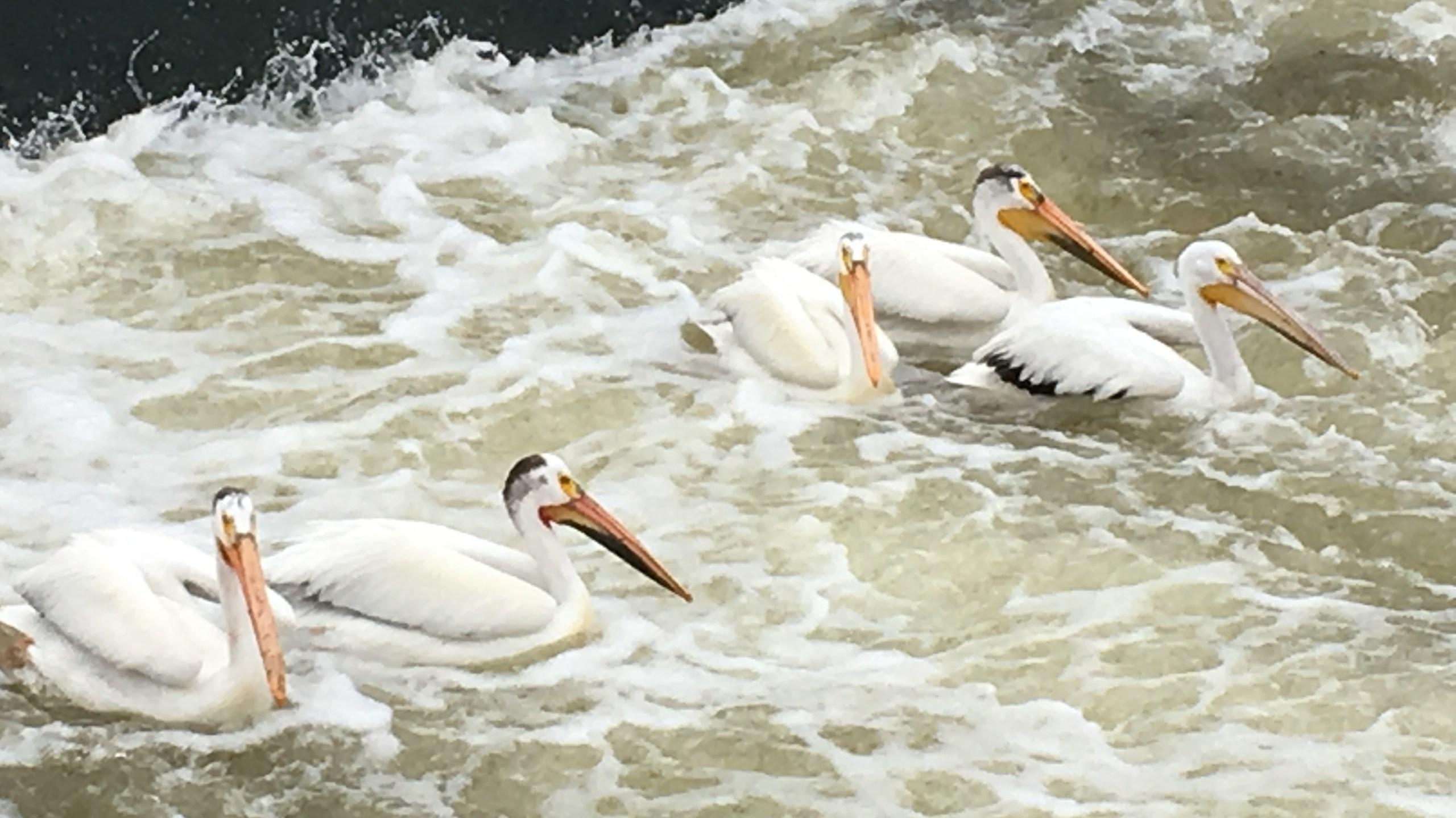 pelican_1559777939531.JPG