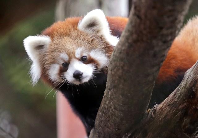 NEW Zoo to celebrate International Red Panda Day
